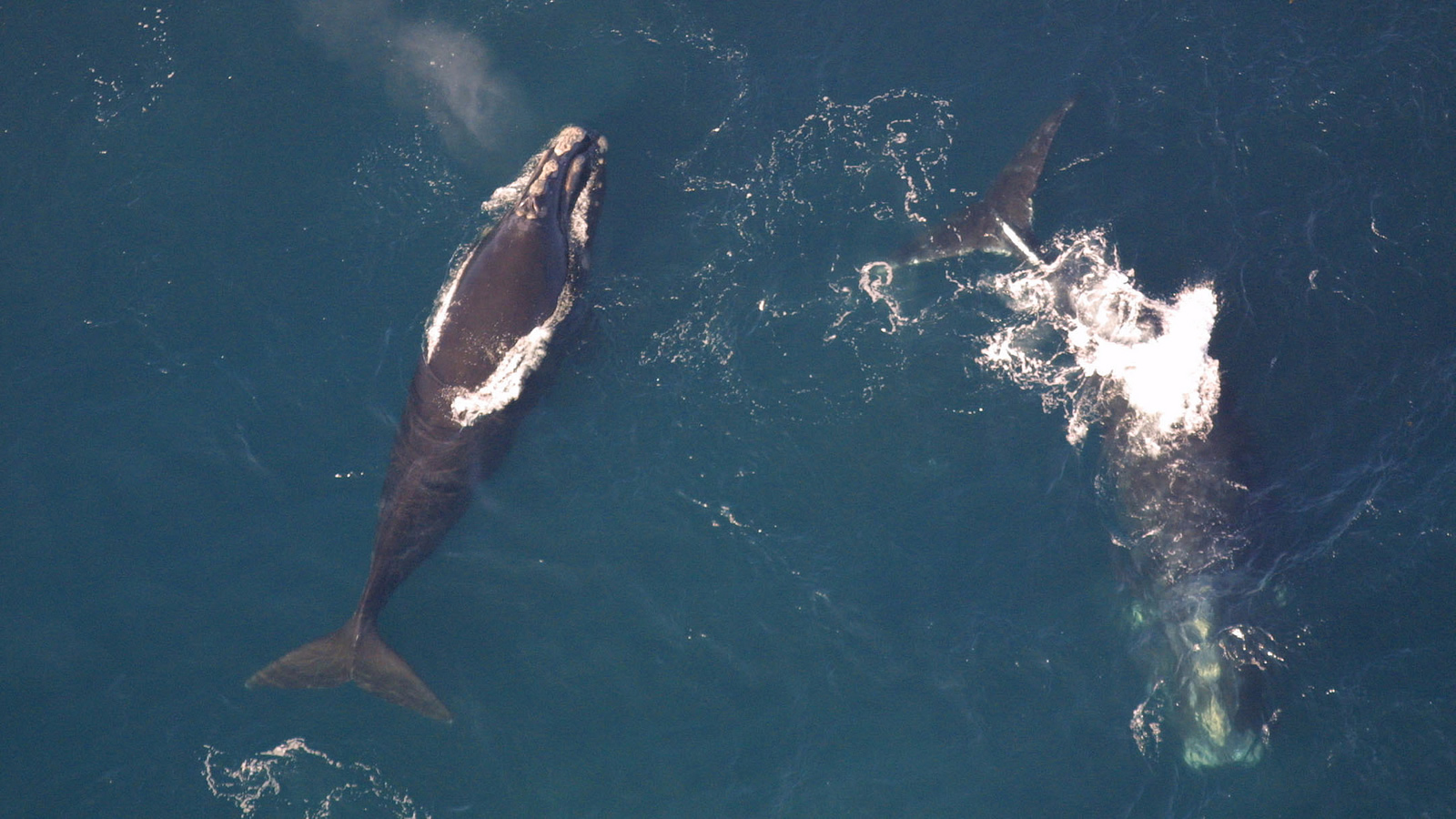 <h4>LOWERING THE BOOM ON WHALES</h4><h5>To search for oil, companies use seismic testing: an innocuous term for loud booms delivered every 10 seconds, 24 hours a day, for days or weeks at a time—disrupting the health of marine animals.</h5><em>NOAA</em>