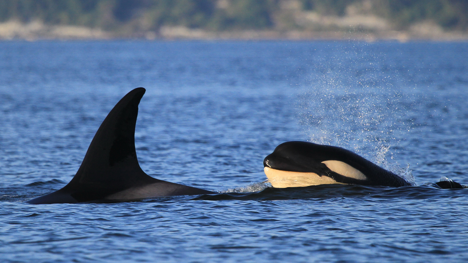 <h5>Southern Resident orcas are listed as critically endangered.</h5><em>Elovich via Shutterstock</em>
